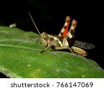 Small photo of Eumastacidae are a family of grasshoppers sometimes known as monkey- or matchstick grasshoppers. They usually have thin legs that are held folded at right angles to the body.
