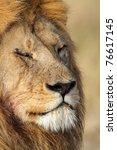 Sleeping lion, Serengeti National Park, Tanzania - stock photo