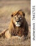 Large-maned lion male, Serengeti National Park, Tanzania - stock photo