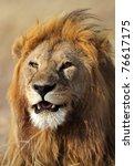 Lion male, Serengeti National Park, Tanzania - stock photo