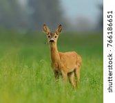 roe deer doe  capreolus... | Shutterstock . vector #766186651
