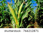 corn heads  corn or maze nearly ... | Shutterstock . vector #766212871