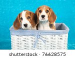 Stock photo beagle puppies sitting inside white woven basket on blue background 76628575