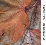 Small photo of Closeup of dry Maple leaves showing metallic sheen in decomposition