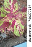 Small photo of Beautiful Coleus plant image