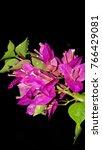 Flowers Pink. Bougainvillea On...