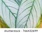 close up dumb cane leaves or... | Shutterstock . vector #766432699