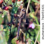Small photo of Migrant Hawker dragonfly (Aeshna mixta) male perched on bramble, Marazion, Cornwall, England, UK.