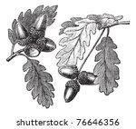 english oak or pedunculate oak... | Shutterstock .eps vector #76646356