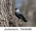 Portrait Of A Jackdaw On A Tree