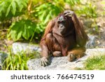 borneo orangutan scientific... | Shutterstock . vector #766474519