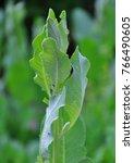 costmary  tanacetum balsamita  | Shutterstock . vector #766490605