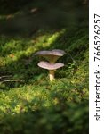 lactarius trivialis  a mushroom ... | Shutterstock . vector #766526257