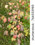 Small photo of Amelanchier canadensis autumn leaves red, green and yellow