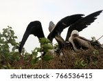 birds in isla de la plata ... | Shutterstock . vector #766536415