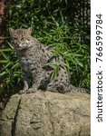 a fishing cat sitting on a rock | Shutterstock . vector #766599784