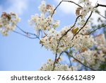 White Cherry Blossom On A...