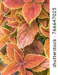 Small photo of Red and pink coleus leaves