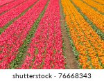 Color Flower Fields In Holland...