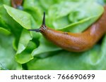 snail with lettuce leaf | Shutterstock . vector #766690699