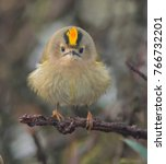 Small photo of Goldcrest looking Angry