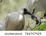 The Young Royal Spoonbill Is I...