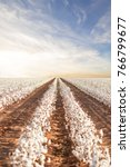 beautiful cotton fields from... | Shutterstock . vector #766799677