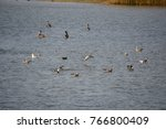 brown pelicans and gulls in... | Shutterstock . vector #766800409