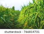 rice in the field waiting for... | Shutterstock . vector #766814731