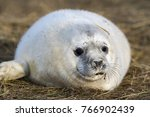 Grey Seal Puppy While Relaxing...