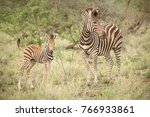Wild Zebra in a game reserve. Mother and calf prey animal using camouflage to hide from predators. Striped animal. Mammal. Long grass. Safari holiday. Conservation of wildlife. Hunting game. - stock photo