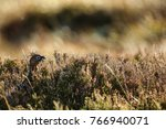 the famous grouse | Shutterstock . vector #766940071