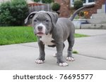 Purebred Canine Puppy Blue Nos...