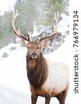 Bull Elk Standing Against A...