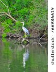 the grey heron  ardea cinerea ... | Shutterstock . vector #766986619