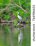 the grey heron  ardea cinerea ... | Shutterstock . vector #766986631