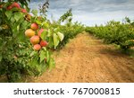 Apricot Orchard. Agricultural...