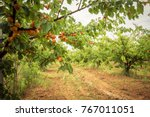 Field With Apricot Trees And A...