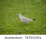 juvenile seagull at... | Shutterstock . vector #767012551