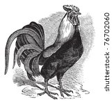 ancient,animal,antique,art,artwork,aves,beak,bird,black,chicken,cock,cock-a-doodle-doo,cockerel,cockfight,cockfighting