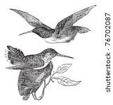 Anna's Hummingbird Or Calypte...