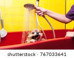 Stock photo bathing of the funny pomeranian dog dog taking a bubble bath grooming dog 767033641
