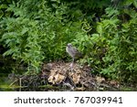 juvenile seagull and nest at... | Shutterstock . vector #767039941