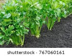 Close up of celery plantation ...