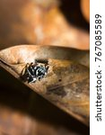 Small photo of Black and White striped Jumping spider (salticidae) sitting on a leaf, Nosy Komba, Madagascar