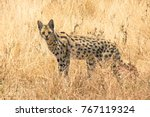 Serval  Spotted African Cat ...