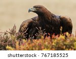eagle looking fierce. a... | Shutterstock . vector #767185525