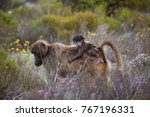 mother cape baboon with baby... | Shutterstock . vector #767196331
