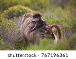 mother cape baboon with baby... | Shutterstock . vector #767196361