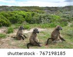three young cape baboon sitting ... | Shutterstock . vector #767198185